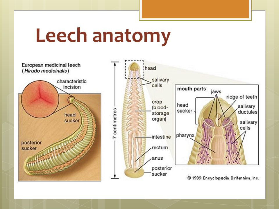 Old Fashioned Anatomy Of A Leech Embellishment - Anatomy And ...