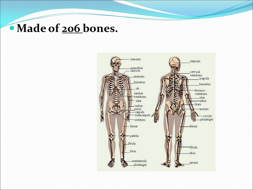 Made Of 206 Bones Function Of Skeletal System Supports Protects