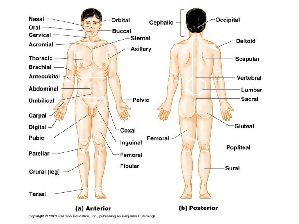 Anatomical Regional Terms Labeling Diagram Wiring Diagram Online