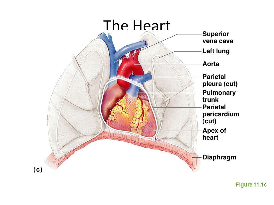 Aice Biology Chapter 9 The Mammalian Heart The Heart Location