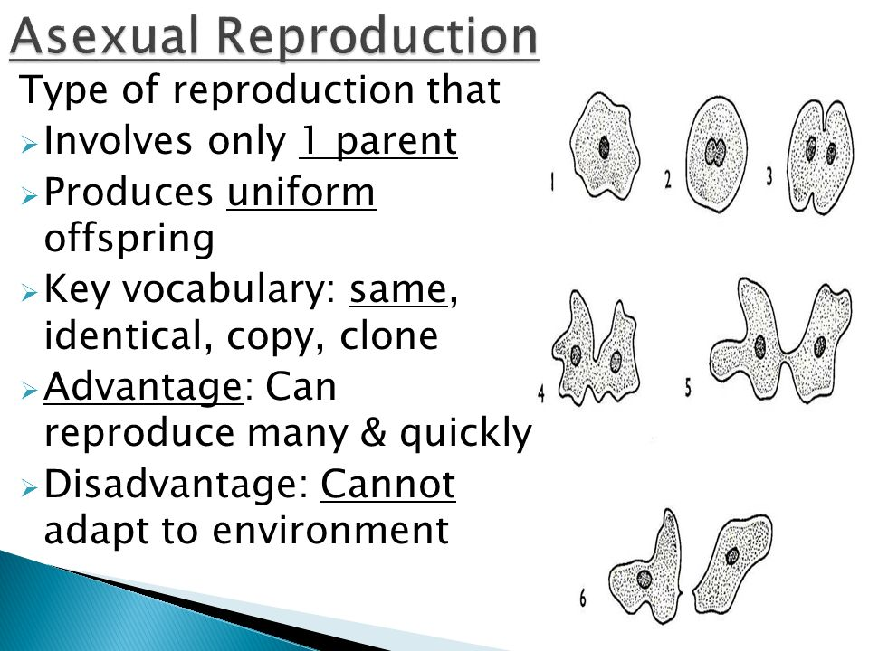 Describe regeneration in asexual reproduction how many parents