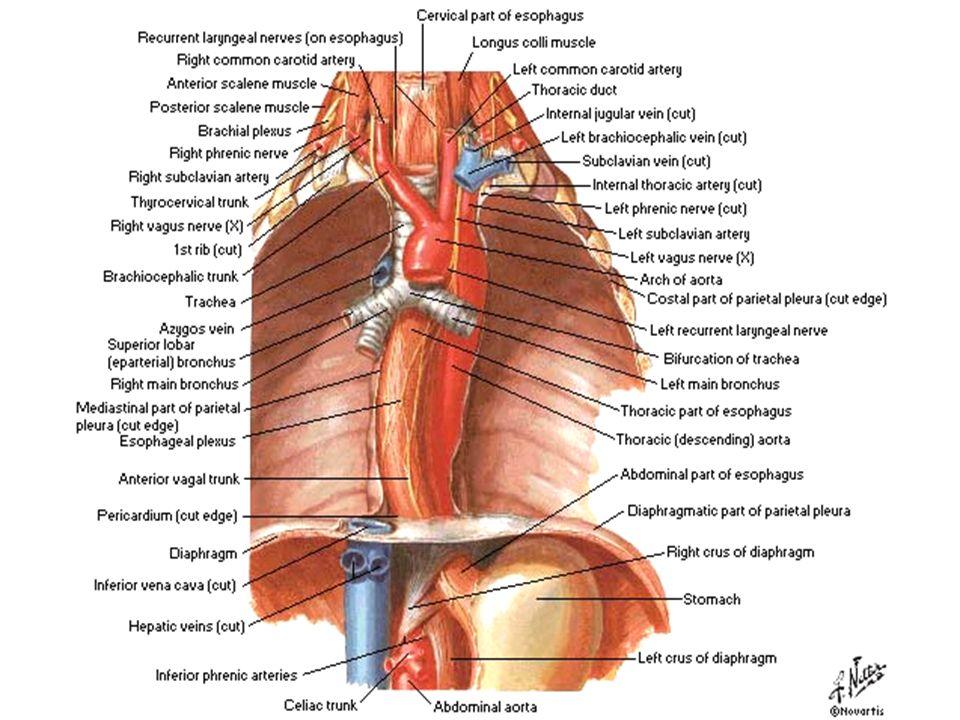 "the Cardiovascular System ""Mediastinum"" - ppt video online download"