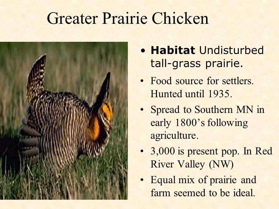 Mn Prairie Ecology Conservation Biology Big Bluestem Turkeyfoot