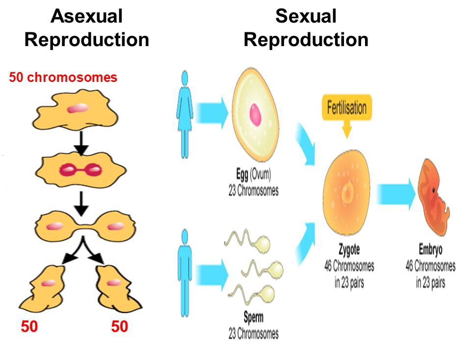 Persona asexual and sexual reproduction