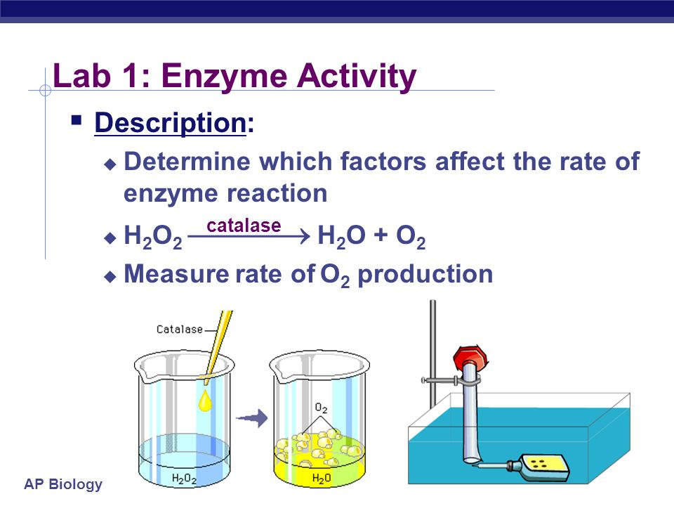 AP Biology Lab Review AP Biology Lab 1 Enzyme Activity