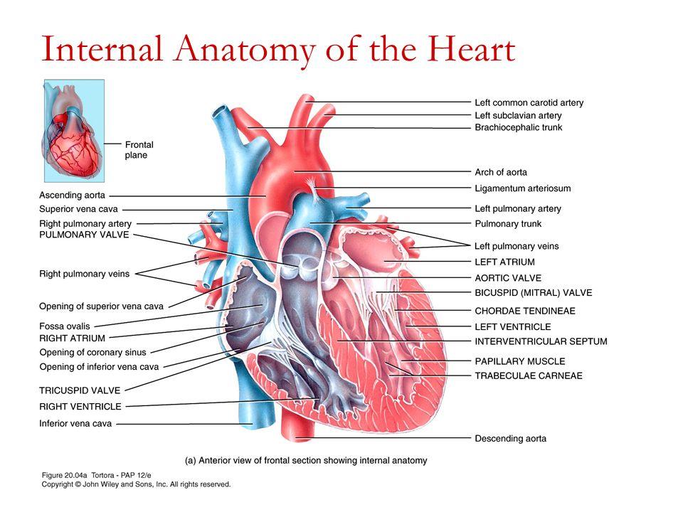Outstanding Heart Internal Anatomy Illustration - Anatomy And ...