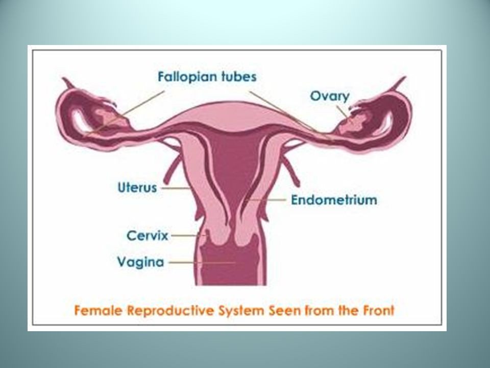 Human Reproduction And Development Female Reproductive System 1