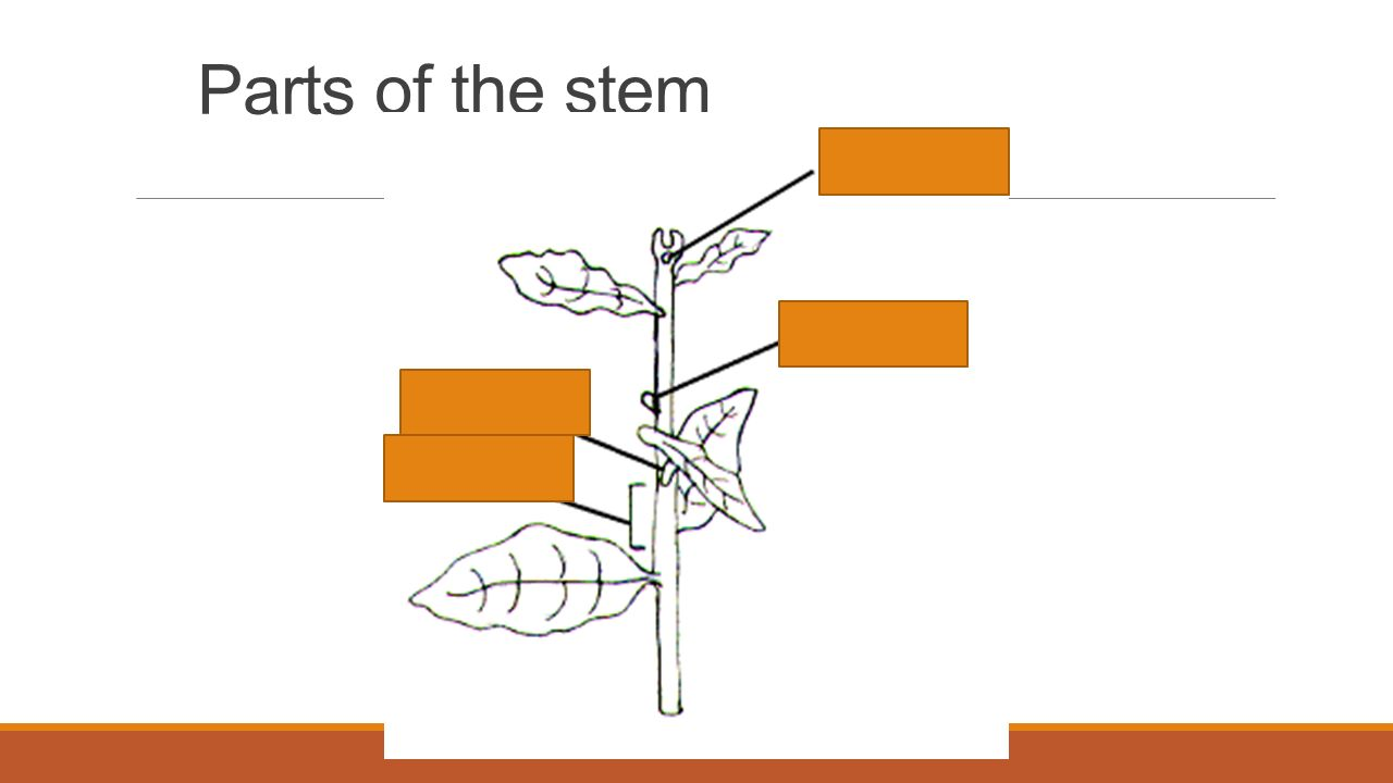Parts a stem diagram electrical work wiring diagram do now collect a blank plant diagram and label as many parts as you rh slideplayer com flowering parts stem diagram diagram plant stem ccuart Choice Image
