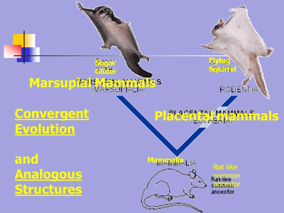 Image result for sugar glider and flying squirrel evolution