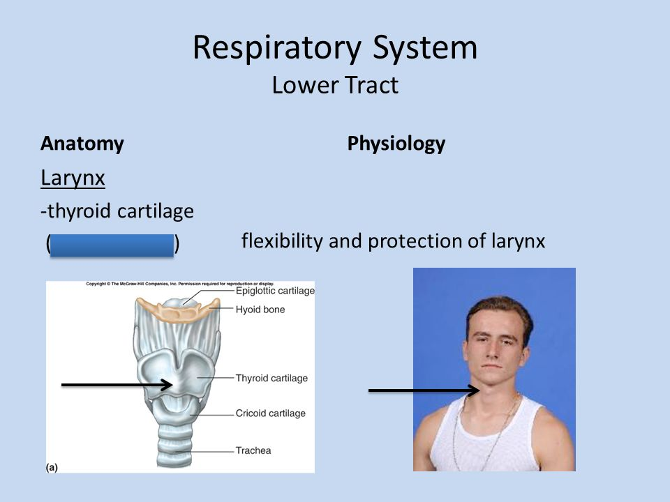 Structures And Functions Of The Respiratory System Create A