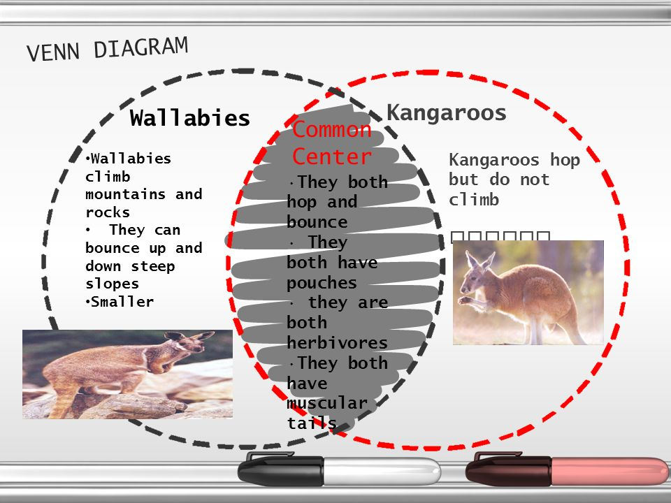 K a n g a r o o s by solomon why are kangaroos natural wonders 7 kangaroos live in eastern australia and new guinea kangaroos live and sleep in the shade and make cool beds at night because it is so hot where kangaroos ccuart Choice Image