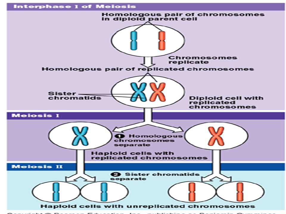 Chromosomes meiosis main ideas you have body cells and gametes 38 ccuart Choice Image