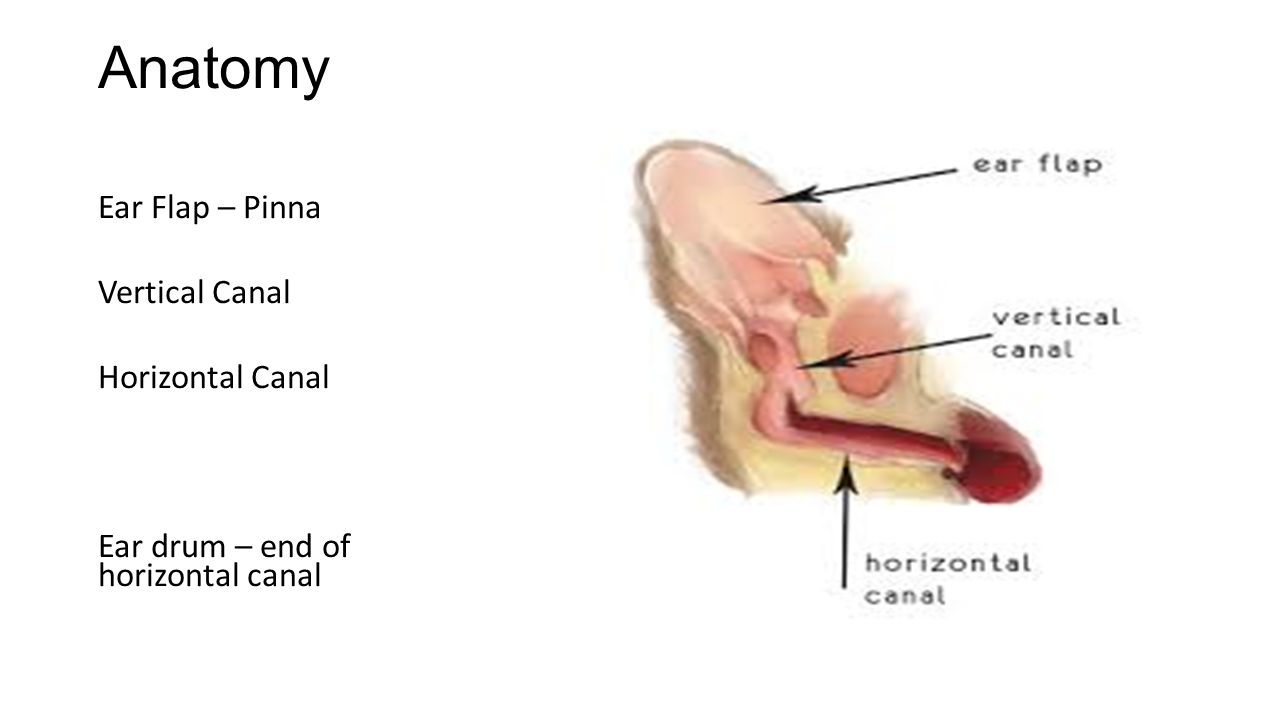 Cleaning the Ears Mrs. Salvati. Anatomy Ear Flap – Pinna Vertical ...