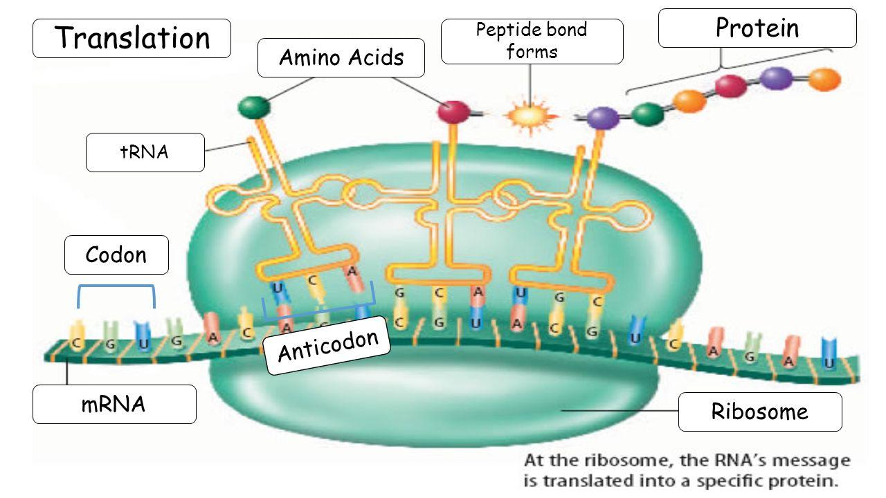 Amino Acid Translation Diagram - Wiring Diagram Center