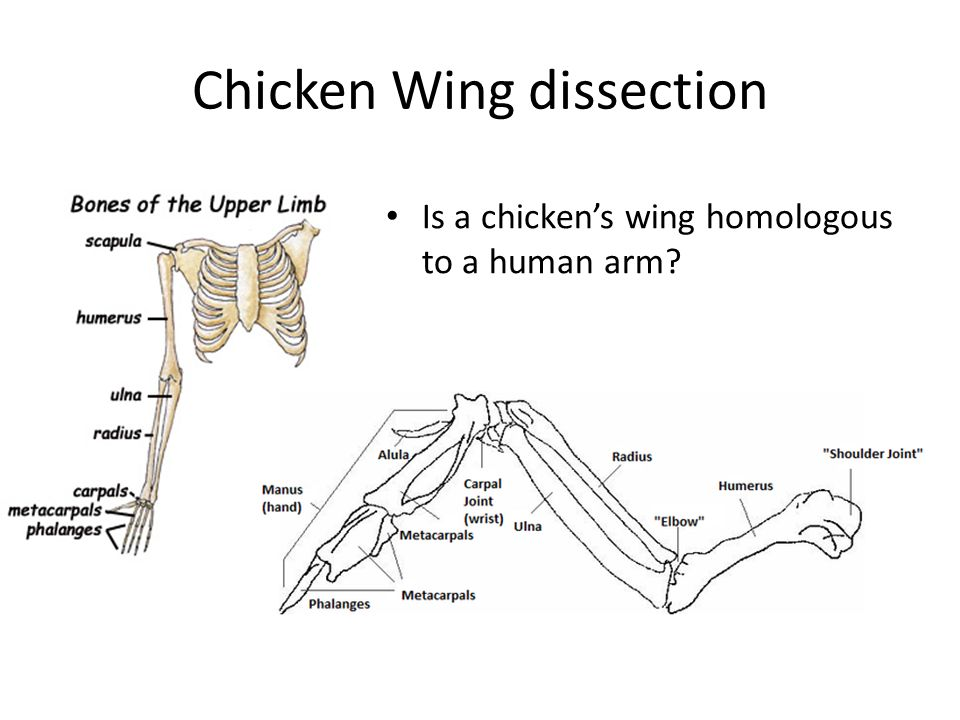 Chicken Wing Diagram Wrist - Trusted Wiring Diagram •