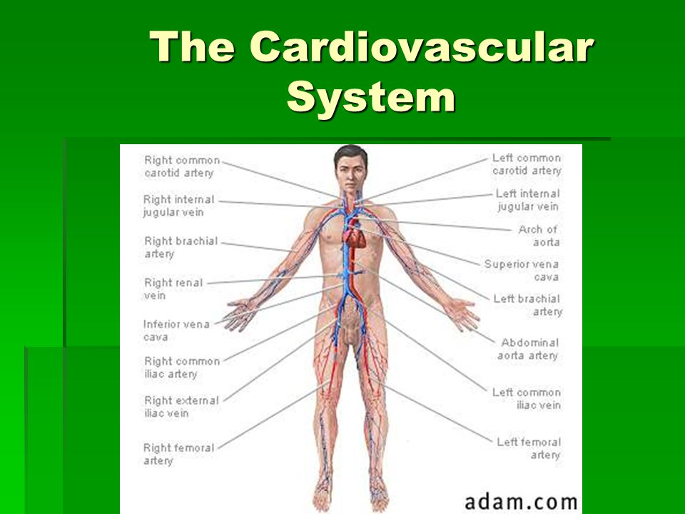 Assessment of the Cardiovascular System. The Cardiovascular System ...