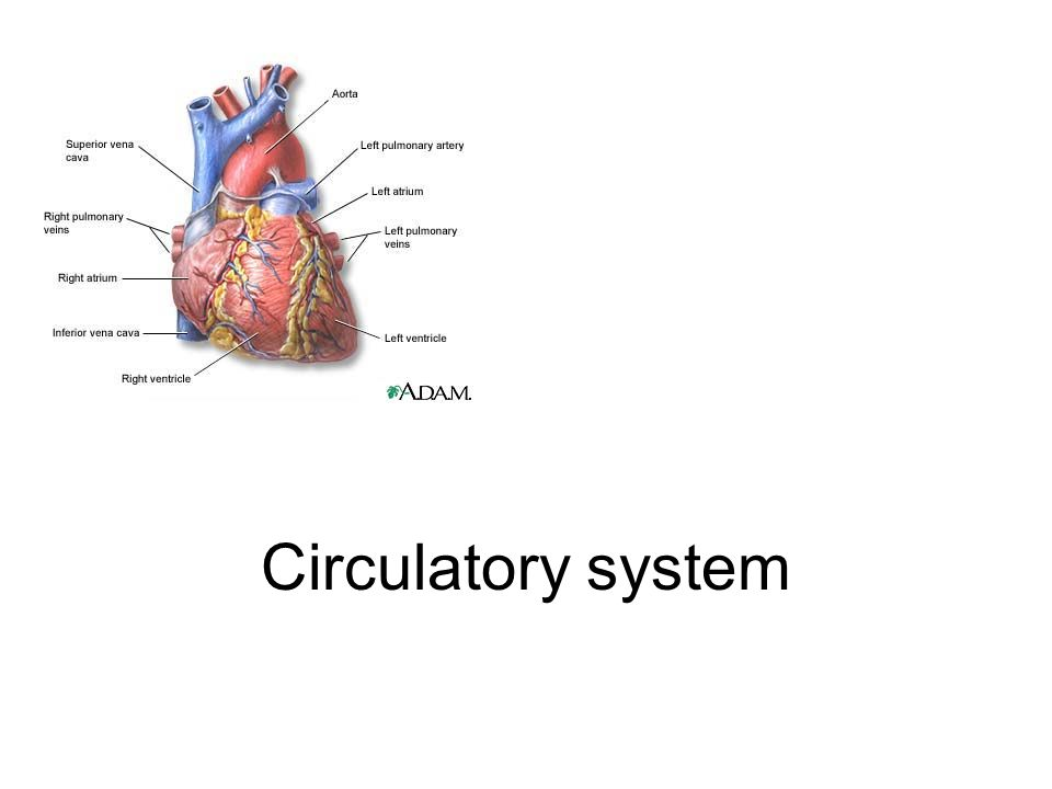 Circulatory System Learning Objectives 1entify The Main