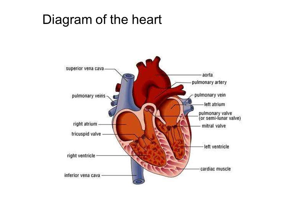 Circulatory system. Learning objectives 1.Identify the main ...