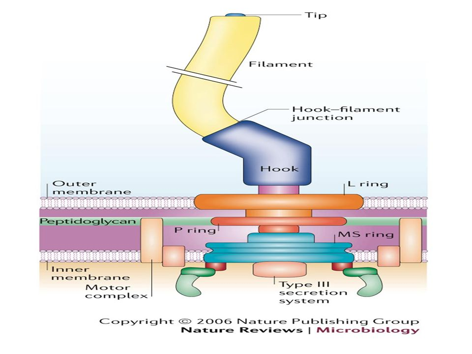 Structure physiology of bacteria ppt video online download 9 functions of flagella organs of motility to bacteria spirochaetes locomote without flagella may not be used for movement bacteria may turn round ccuart Image collections