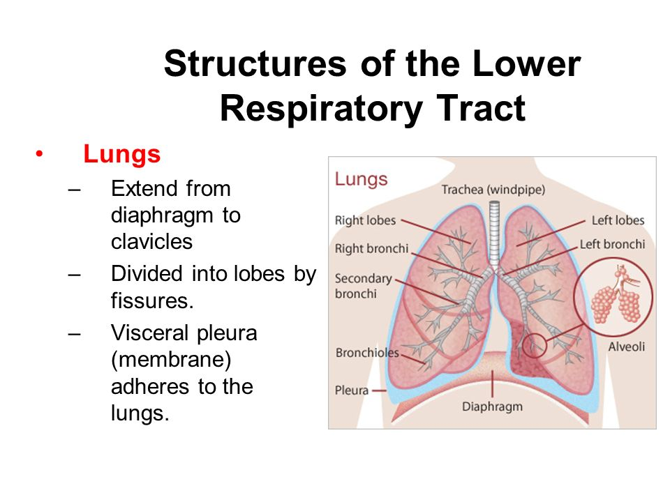 The Anatomy And Physiology Of The Respiratory System Ppt Download