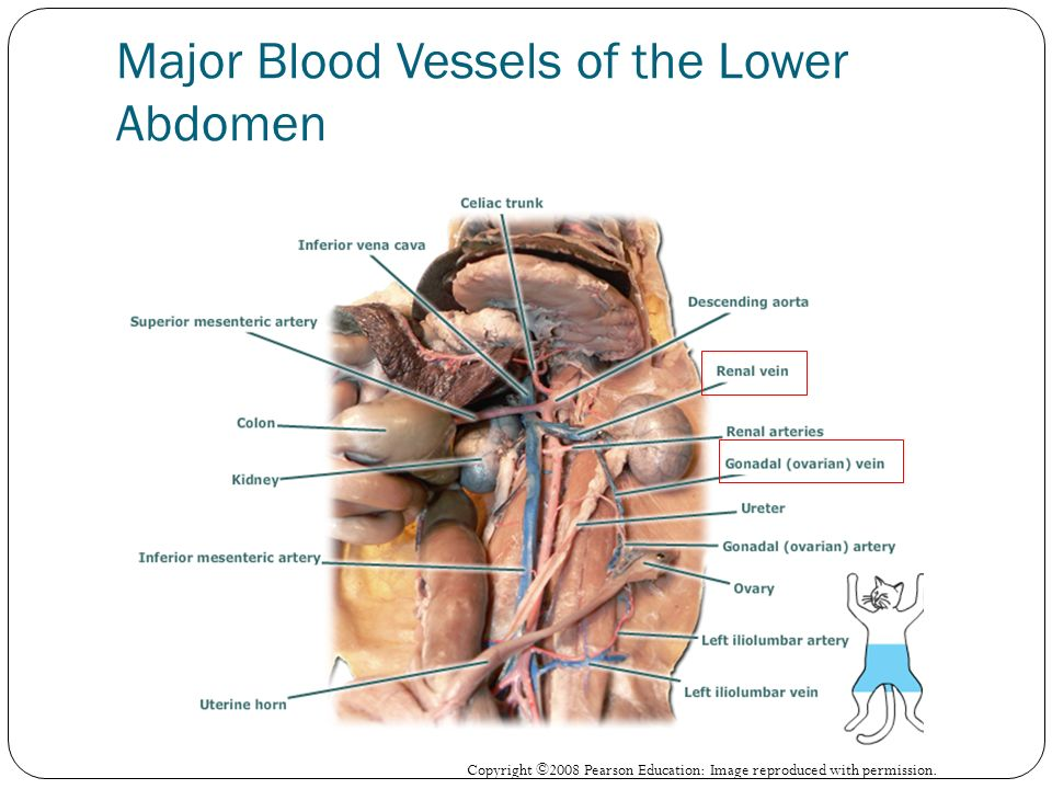Dr. Kim Wilson Lab 6: Circulatory System Part 4 (Veins) - ppt download