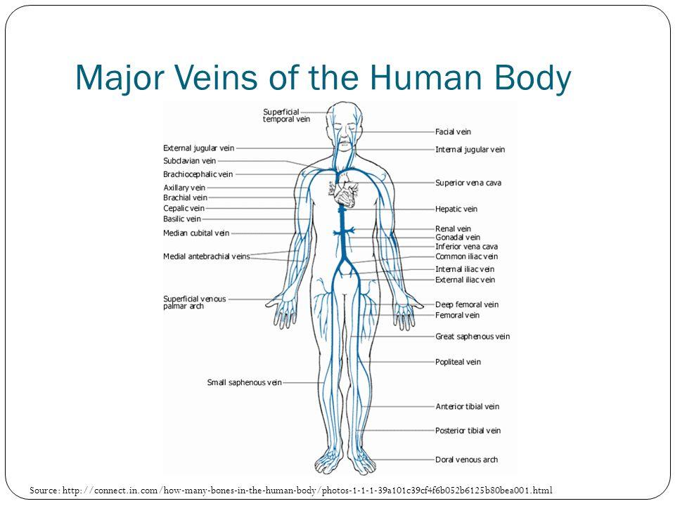 Dr Kim Wilson Lab 6 Circulatory System Part 4 Veins Ppt Download