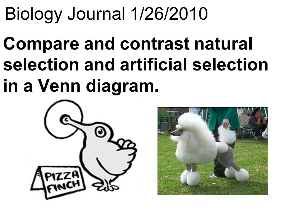 Biology journal 1252010 think about a salmon and an elephant what 27 biology journal 1262010 compare and contrast natural selection and artificial selection in a venn diagram ccuart Image collections