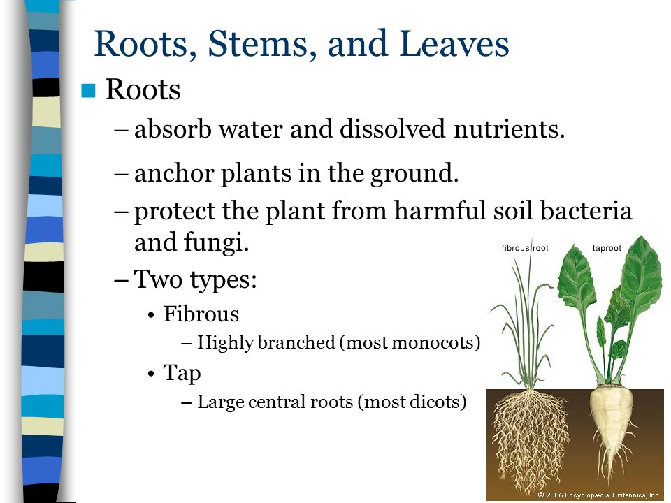 roots and stems Root definition is - the usually underground part of a seed plant body that originates usually from the hypocotyl, functions as an organ of absorption, aeration, and food storage or as a means of anchorage and support, and differs from a stem especially in lacking nodes, buds, and leaves.