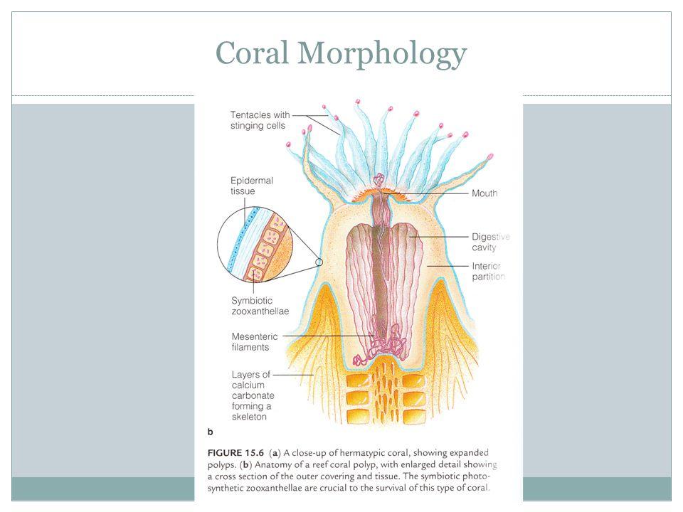 Sea Anemones Corals Polyps. Corals Reef building corals are ...