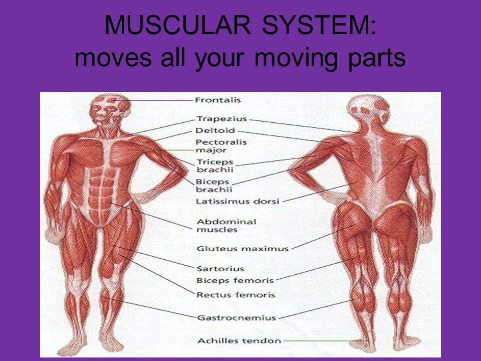 MUSCULAR SYSTEM: moves all your moving parts. WHAT DOES THE MUSCULAR ...