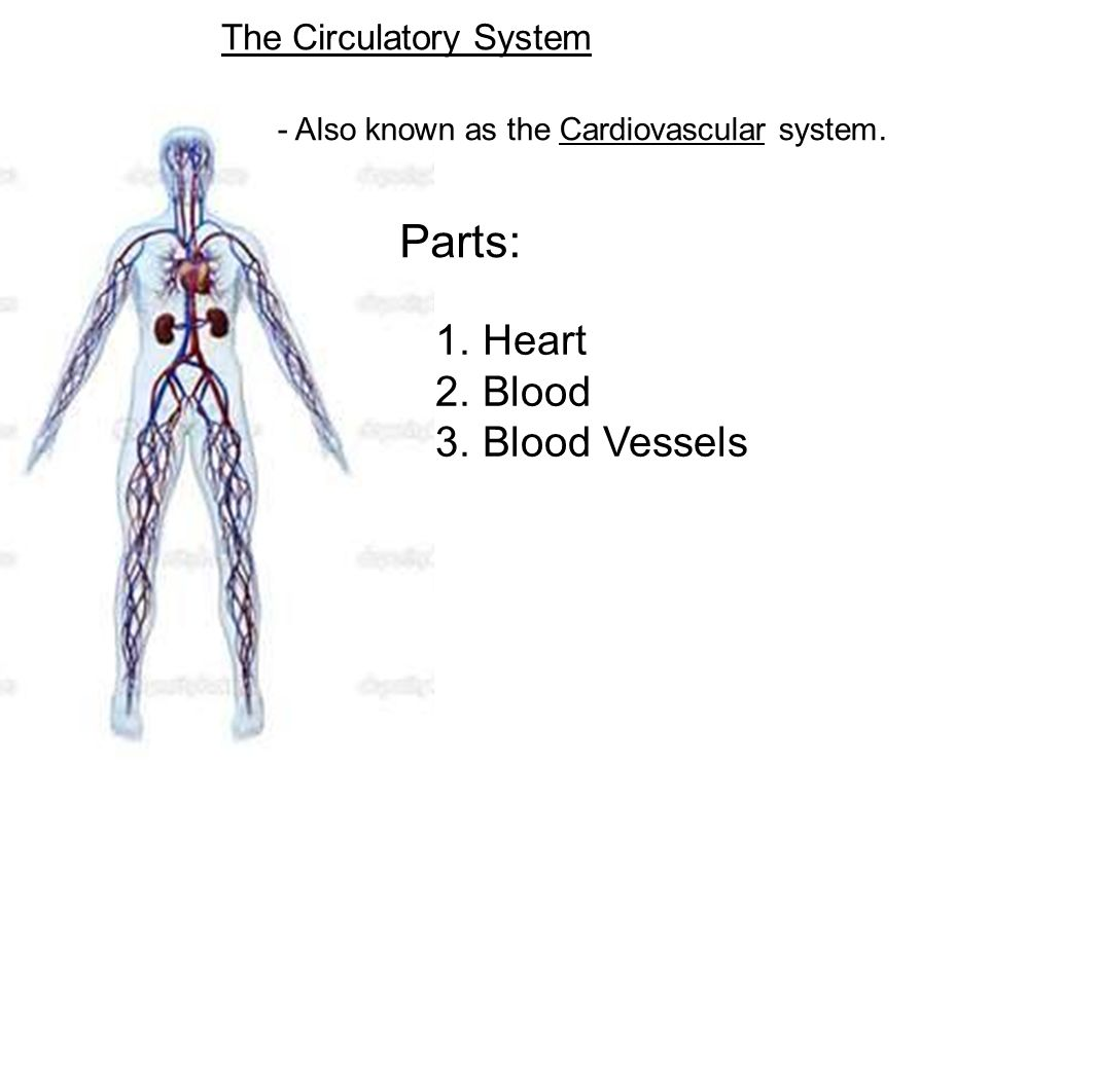 The Circulatory System Also Known As The Cardiovascular System