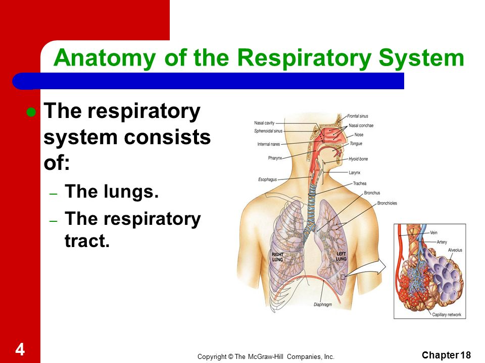 Respiratory Care Copyright The Mcgraw Hill Companies Inc Anatomy