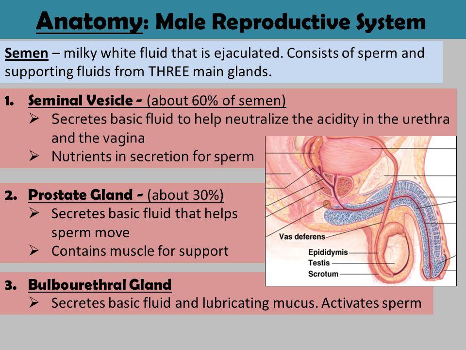 Mucus in sperm secretion in males