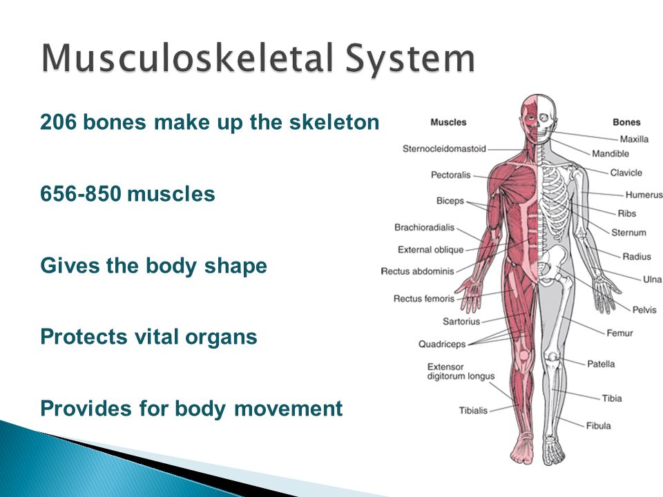 Location Of Internal Organs How Body Systems Work And Their