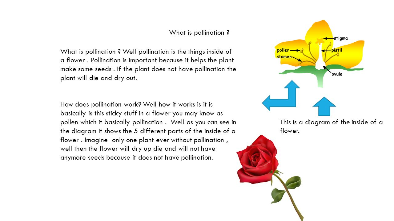 Flower pollination diagram flowers healthy what is pollination this is a diagram of the inside of a flower yahaira c t 5 reasons why plants are important 1 plants make ccuart Gallery