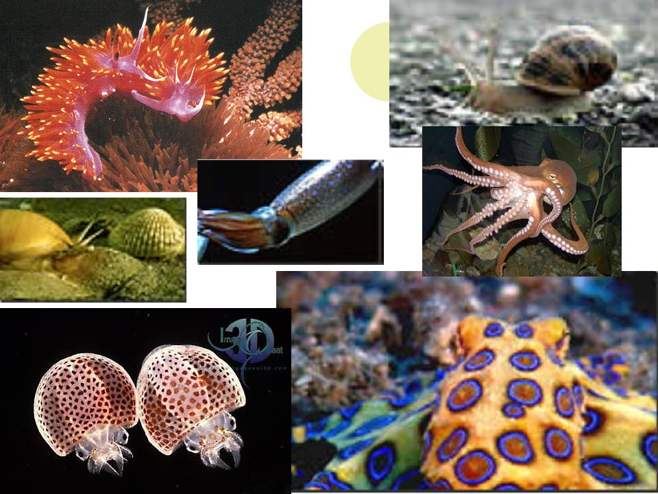 Phylum Mollusk Snails Clams Squids Etc Trochophore Larvae The Stage Of Organism After Gametes Have Been Fertilized Ppt Download