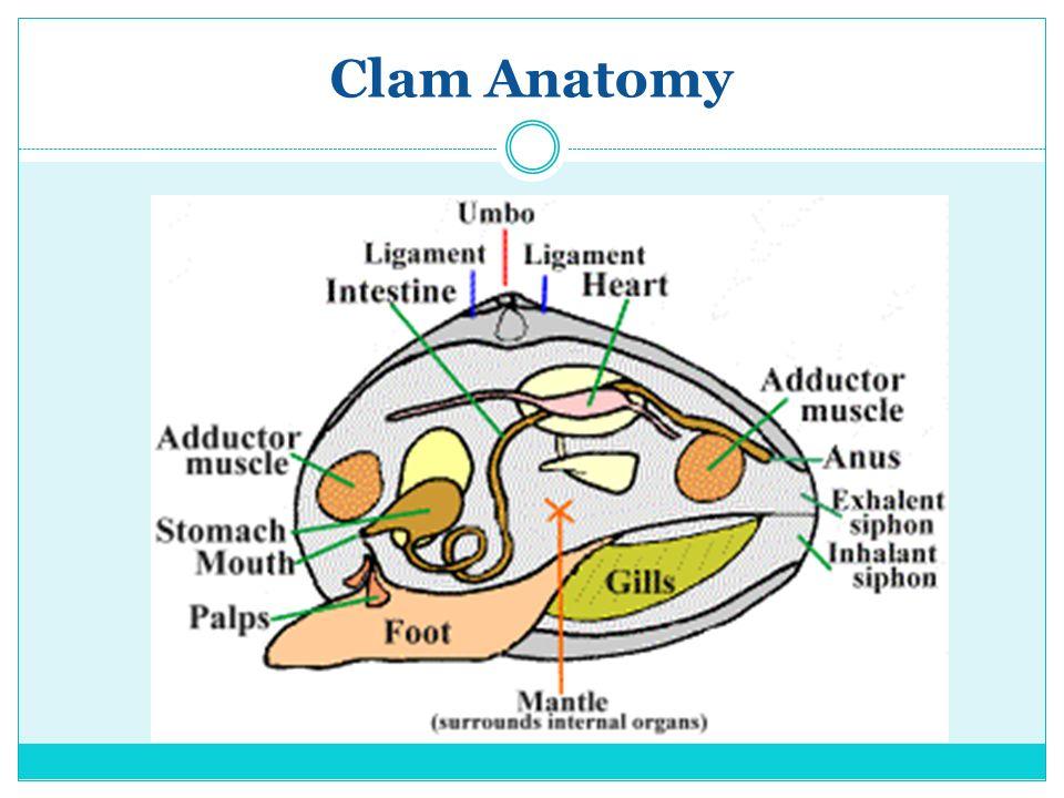 CLASS: BIVALVIA Phylum: Mollusca. Characteristics of Mollusks ...