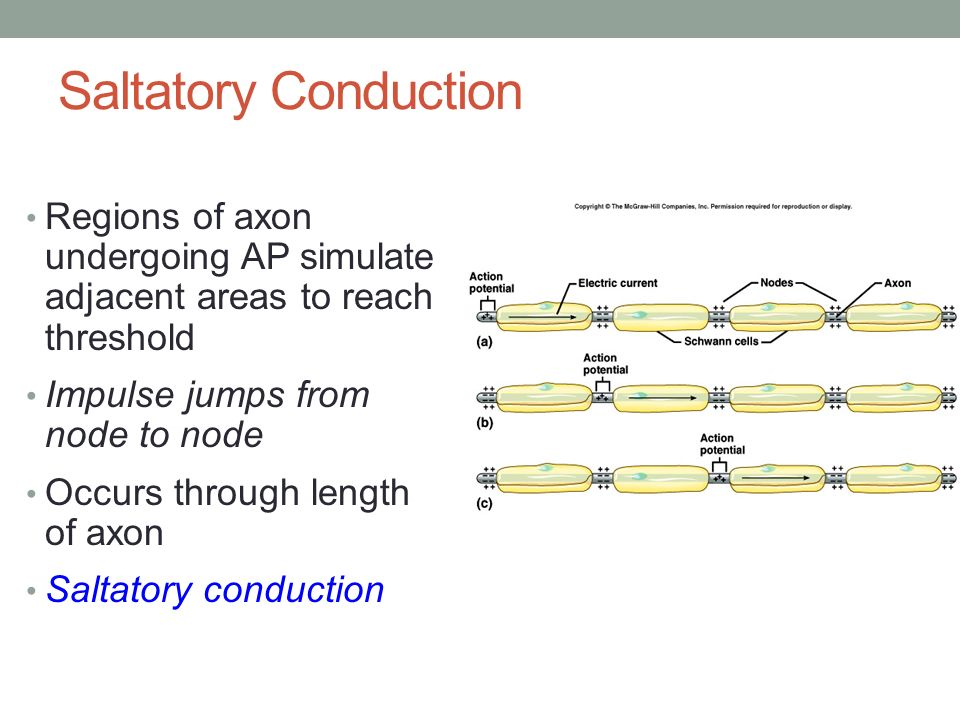 saltatory conduction refers to the conduction of impulses in Saltatory conduction in nerve 317 method preparation ofsingle nervefibres single myelinatedfibres wereisolated fromthesciatic nerves.