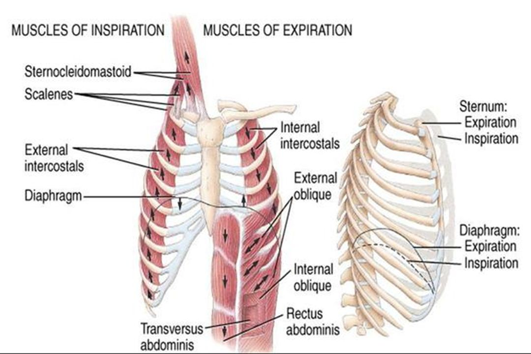 Neuro Anatomy Of Respiratory Muscles Ppt Video Online Download