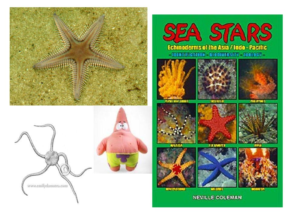 Sea Stars, Sea Urchins, Sand Dollars, Sea Cucumbers) - ppt video ...
