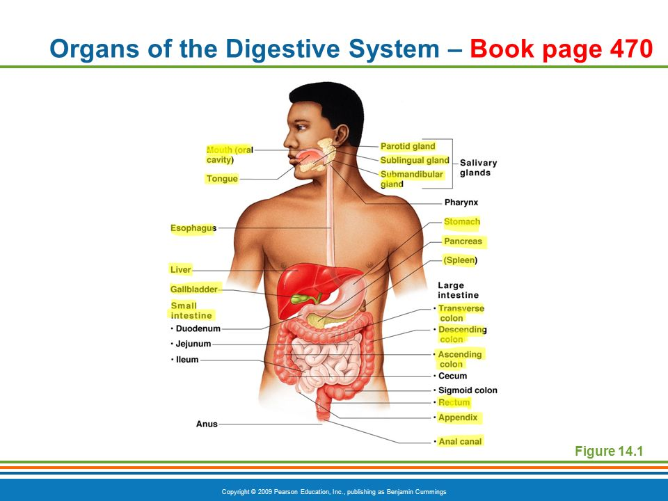 Copyright 2009 pearson education inc publishing as benjamin 5 copyright 2009 pearson education inc publishing as benjamin cummings organs of the digestive system book page 470 figure 141 ccuart Image collections