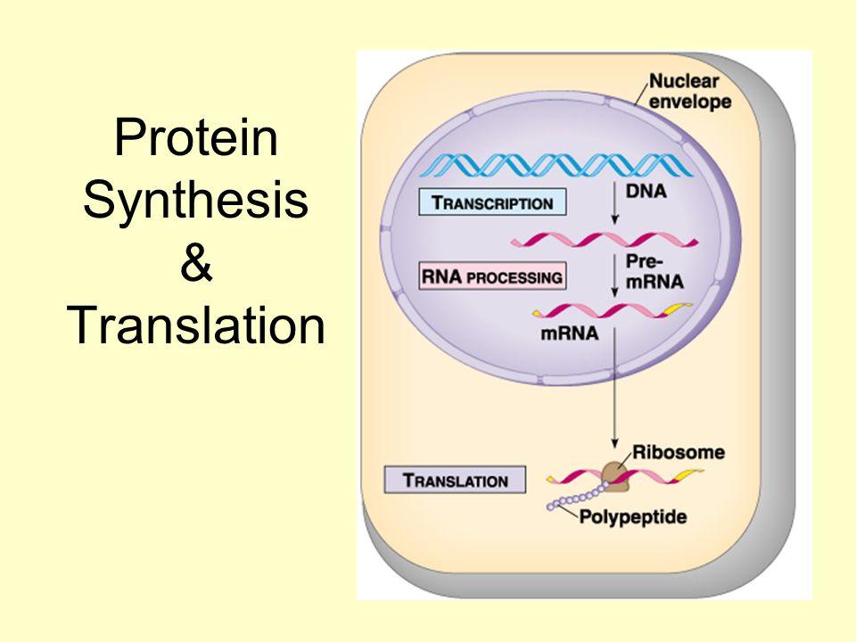 Translation mRNA tRNA rRNA Amino Acids Proteins  Protein