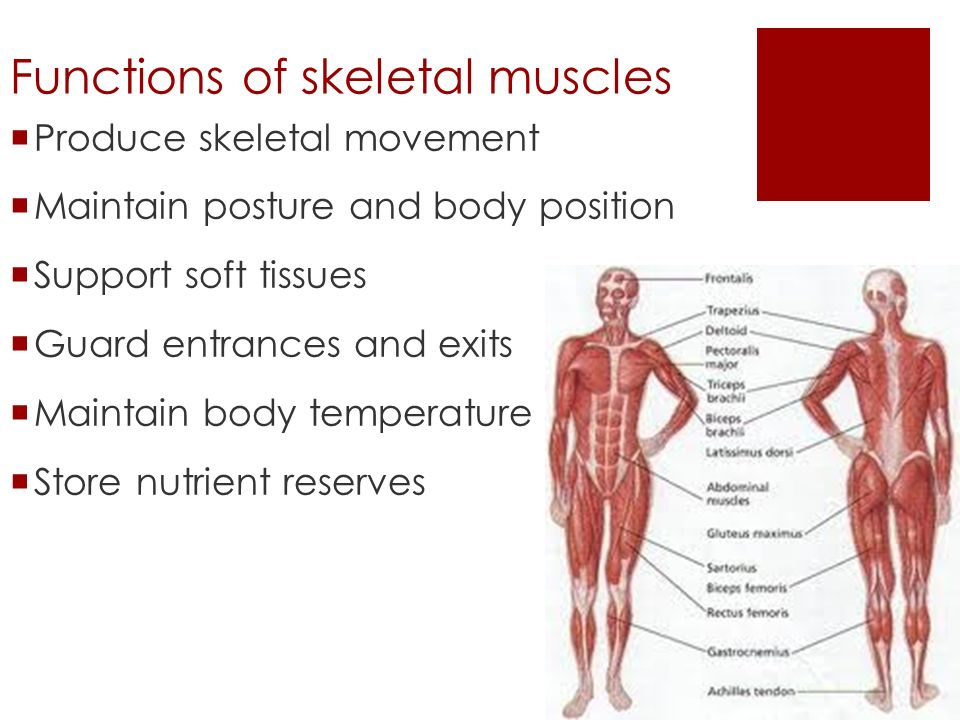 Skeletal Muscle Unit Chapter 6 Functions Of Skeletal Muscles