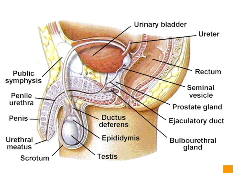 Ch 27 Reproductive System General Organization Anatomy Of Male