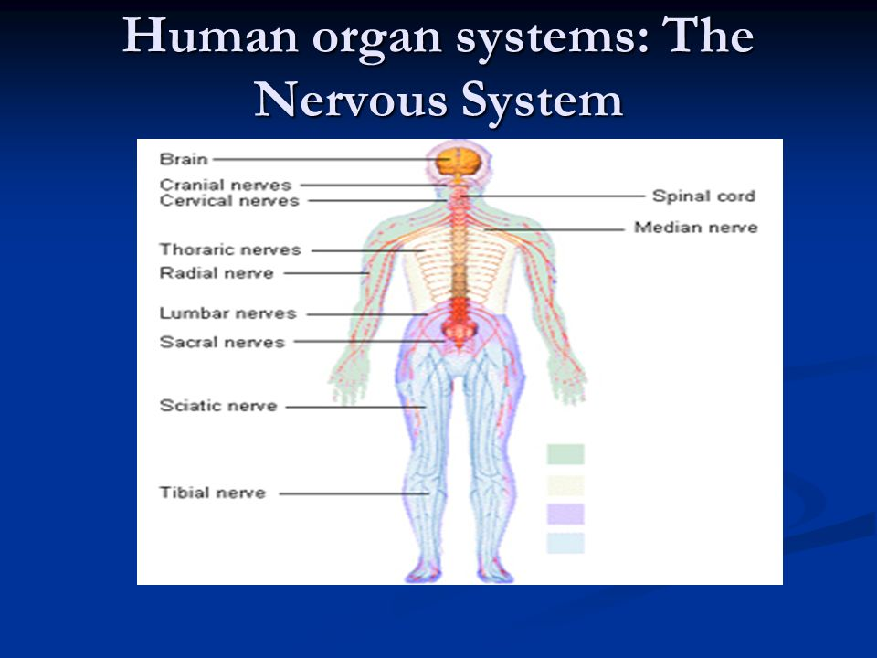 Human organ systems the nervous system what is the purpose of the 1 human organ systems the nervous system ccuart Images