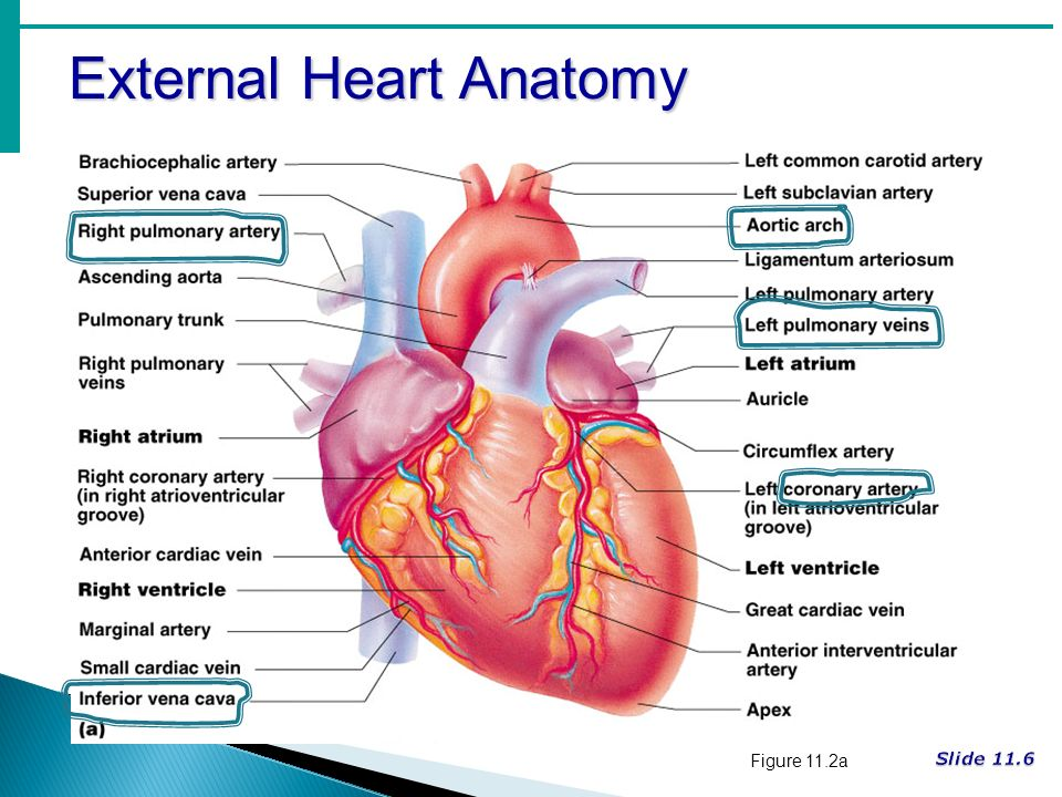 Cardiovascular System What Is The Name Of The Serous Membrane