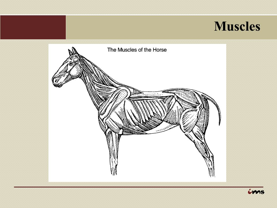 Anatomy Of The Horse Presentation Part 2 Muscular Structure 8893 A