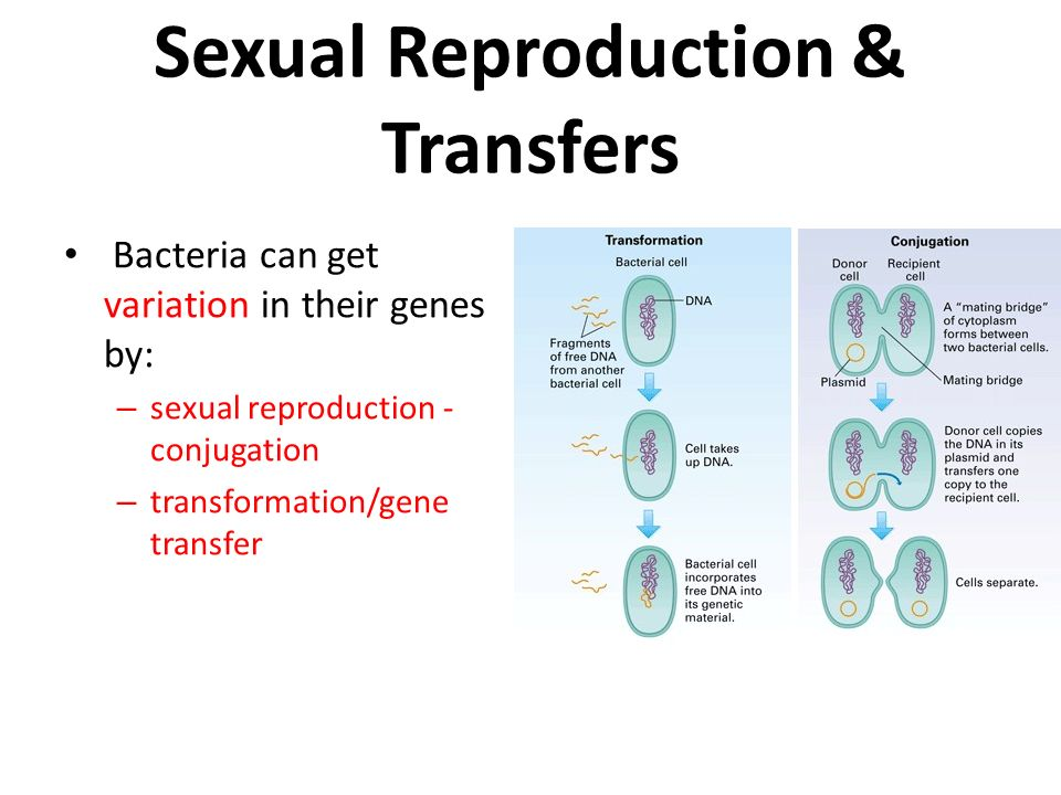 Asexual reproduction bacterial cell walls