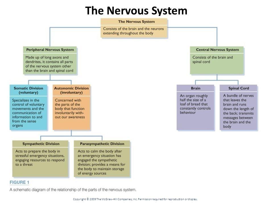 Schematic Diagram Of The Relationship Parts Nervous System | Diagram