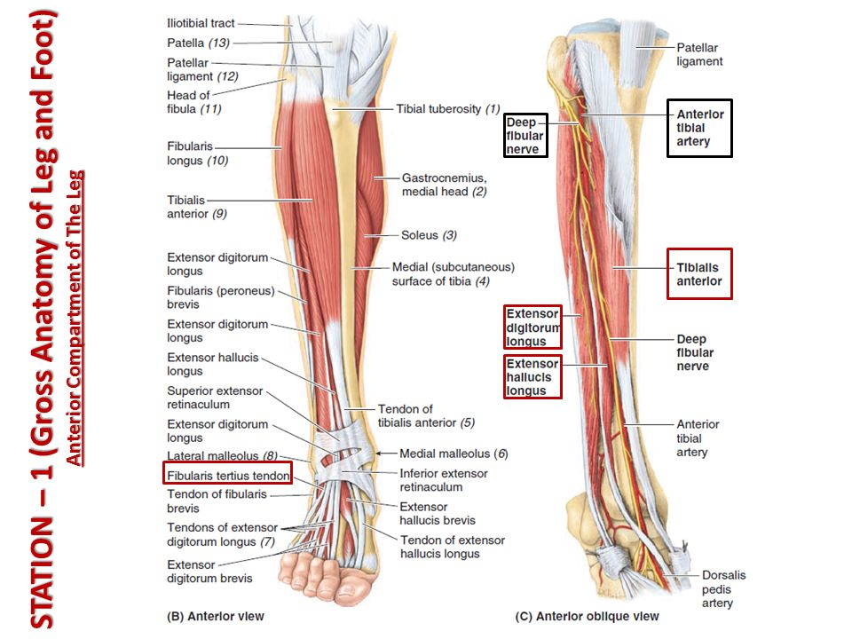 Demo Vi Demo Vi Leg And Foot Ali Jassim Alhashli Year Iv Unit